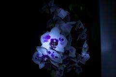 Orchidées dans l'obscurité Images stock