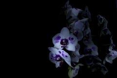 Orchidées dans l'obscurité Photos stock