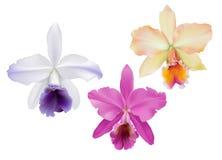 Orchidées de Cattleya Photo stock
