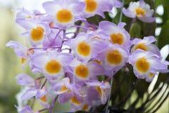 Orchidées de ` de rose de ` de farmeri de Dendrobium Images stock