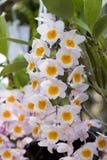 Orchidées de ` de rose de ` de farmeri de Dendrobium Photographie stock