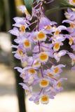 Orchidées de ` de rose de ` de farmeri de Dendrobium Images libres de droits