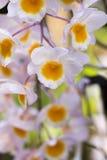 Orchidées de ` de rose de ` de farmeri de Dendrobium Photos libres de droits