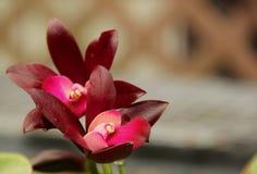 Orchidées de Deep Purple Cattleya Photographie stock libre de droits