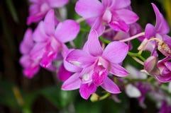 Orchidées de Dendrobium Photos stock