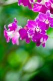 Orchidées de jardin Photographie stock libre de droits
