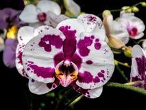 Orchidées de mite blanches avec le pourpre image libre de droits