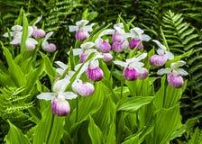 Orchidées de pantoufle de Madame Photographie stock