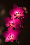 Orchidées de Phalaenopsis Images stock