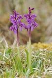 Orchidées de pourpre tôt photographie stock libre de droits