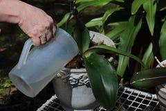 Orchidées de replantation de jardinier photo stock