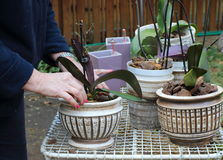 Orchidées de replantation de jardinier photo libre de droits