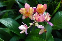 Orchidées de rose de Spathoglottis Plicata avec le fond trouble vert Photo libre de droits