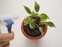 Orchidées de soin d'usine Traitement des usines contre des parasites Photos libres de droits