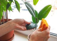Orchidées de soin d'usine Traitement des usines contre des parasites Photos stock
