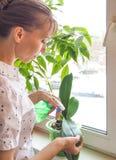 Orchidées de soin d'usine Traitement des usines contre des parasites Image libre de droits