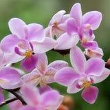 Orchidées douces Photo libre de droits