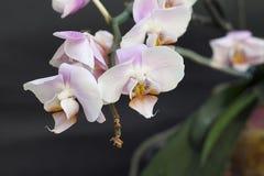 Orchidées gentilles Photos stock