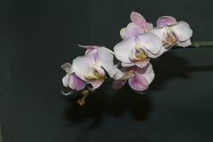 Orchidées gentilles Photographie stock libre de droits
