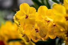 Orchidées jaunes Photographie stock libre de droits