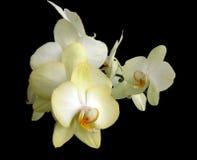Orchidées jaunes image stock
