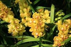 Orchidées jaunes Image libre de droits