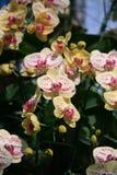 Orchidées jaunes et blanches photo stock