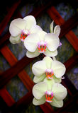 Orchidées jaunes et roses de phalaenopsis Image stock