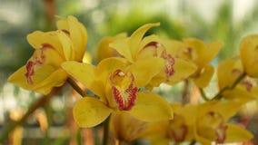 Orchidées jaunes hybrides de Cymbidium le genre, belle fleur, développement de beaucoup d'hybrides artificiels multipliant le cra banque de vidéos