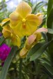Orchidées jaunes (Vanda) Photographie stock libre de droits