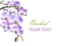 Orchidées lilas lumineuses d'isolement Photographie stock libre de droits
