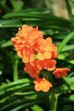 Orchidées oranges Image stock