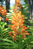 Orchidées oranges Images libres de droits