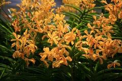 Orchidées oranges et jaunes photos stock