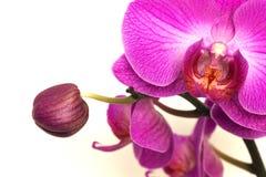orchidées - phalaenopsis Image libre de droits