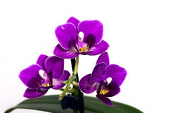 orchidées - phalaenopsis Images libres de droits