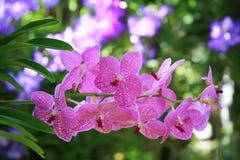 Orchidées pourprées Photographie stock