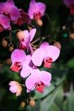 Orchidées pourprées Photos libres de droits