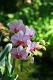 Orchidées pourprées et roses photo stock