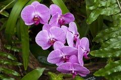 Orchidées pourpres Image libre de droits