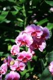 Orchidées pourpres avec le rose photographie stock libre de droits