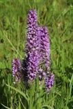 Orchidées pourpres, campagne anglaise de transitoires de fleur image stock