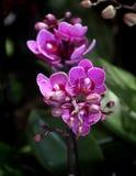 Orchidées pourpres de phalaenopsis en pleine floraison Photo stock
