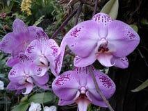 Orchidées pourpres, fleurs pourpres, fleurs tropicales Images libres de droits
