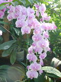 Orchidées pourpres/orchidées tropicales/orchidées thaïlandaises Photos libres de droits