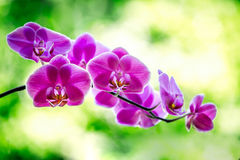 Orchidées pourpres renversantes Photo stock