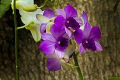 Orchidées pourpres sur des arbres Photographie stock libre de droits