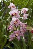 Orchidées roses Photos libres de droits