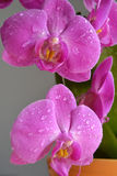 Orchidées roses Image stock