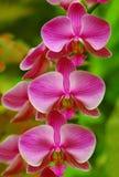 Orchidées roses photos stock